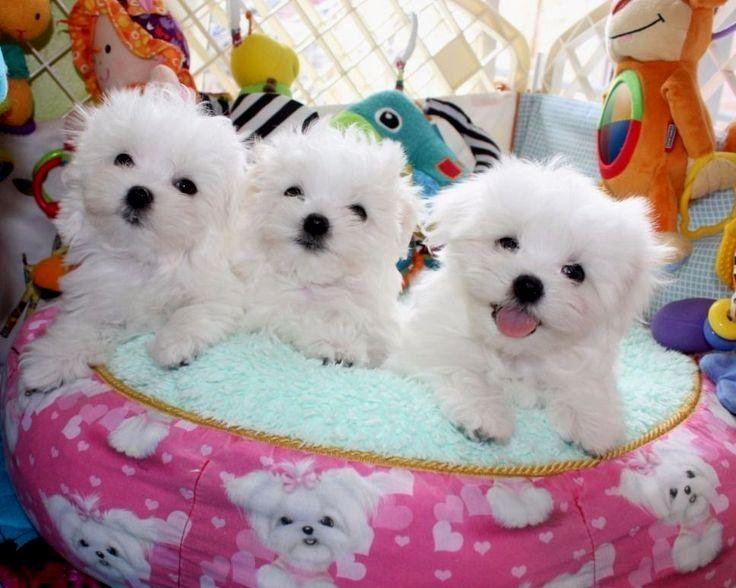 A Bunch Of Funnnnnnnnn Maltese Puppy