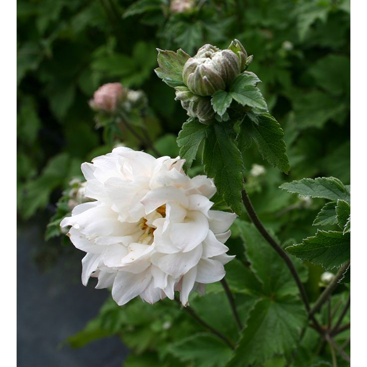 Anemone 'Tiki Sensation' - a Japanese anemone with flowers of a peony. A fantastic addition to a shaded garden. Buy today.