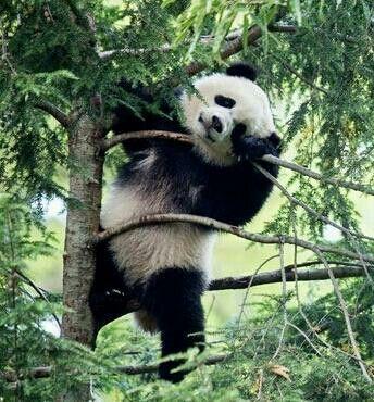 1000 images about pandas on pinterest giant pandas baby pandas and panda bears. Black Bedroom Furniture Sets. Home Design Ideas