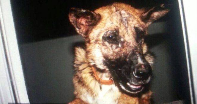 """Tania was used as a """"sparring"""" for a dog fighting in Murcia"""