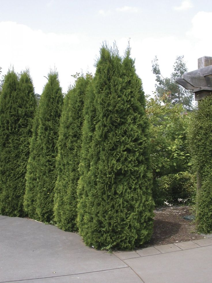 17 Best ideas about Thuja Emerald - 127.2KB