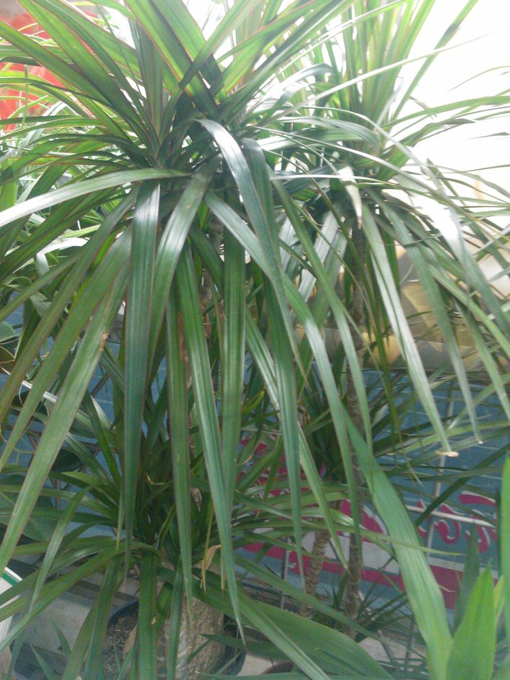 17 meilleures id es propos de dracaena plant sur pinterest plantes l 39 int rieur plantes d - Entretien dracaena marginata ...