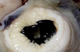Image result for squid beak