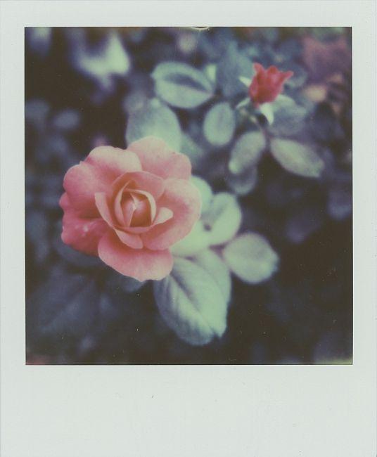 Grandma's Roses - Polaroid by Nicole Mehl