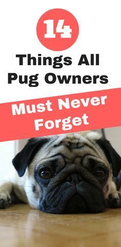 14 Things All Pug Owners Must Never Forget. | pug facts | pug care #Pug