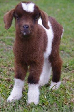 #goatvet likes this website- Australian All Breeds Miniature Goat Society Inc.