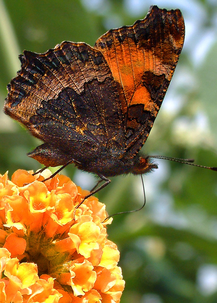 Orange and black butterfly on orange flower
