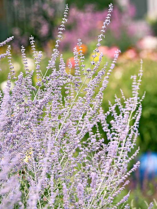 Suited to larger gardens, this 3-foot-wide by 5-foot-tall perennial creates clouds of blue flowers in late summer. Russian sage likes sun, and is tolerant of drought and heat. Plant these perennial flowers at the back of the bed and give it room to grow./