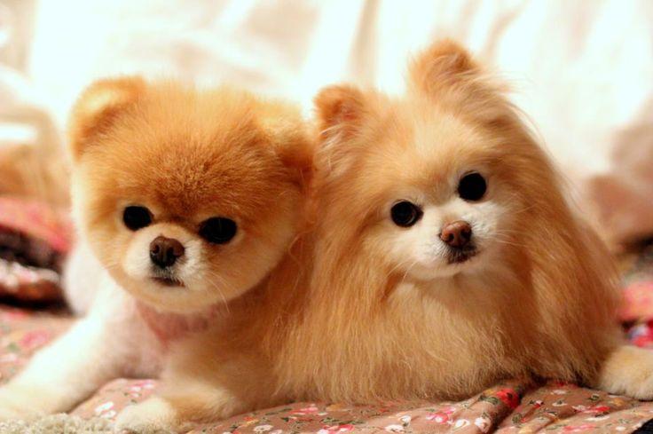Meu bichano é Animal !: Lulu da Pomerânia ou Spitz Alemão