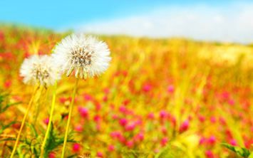 Download the Dandelion,Flowers,Nature, Best HD Wallpapers, Widescreen Wallpapers, Mobile Wallpapers for FREE in like5.com