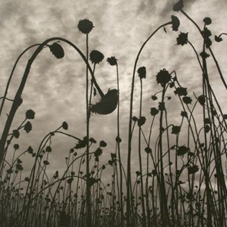 Image by Australian photographer Olive Cotton, 'Dead Sunflowers' 1985
