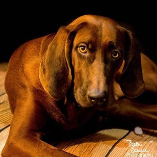 "Redbone Coonhound. This dog is GORGEOUS! I just discovered this breed while watching ""Save Our Shelter"". Still, I'd not buy. I'd see if I could find one for adoption."