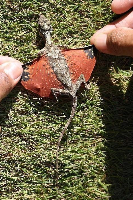 """Flying Dragon"" lizard from the Phillipines Hah!!! So dragons do exist!!! This proves it!! ~~~*I'm pretty sure this is a draco lizard. Not a ""Flying Dragon."" Because if dragons were real they wouldn't be called flying dragons. Because you aren't called a walking human."