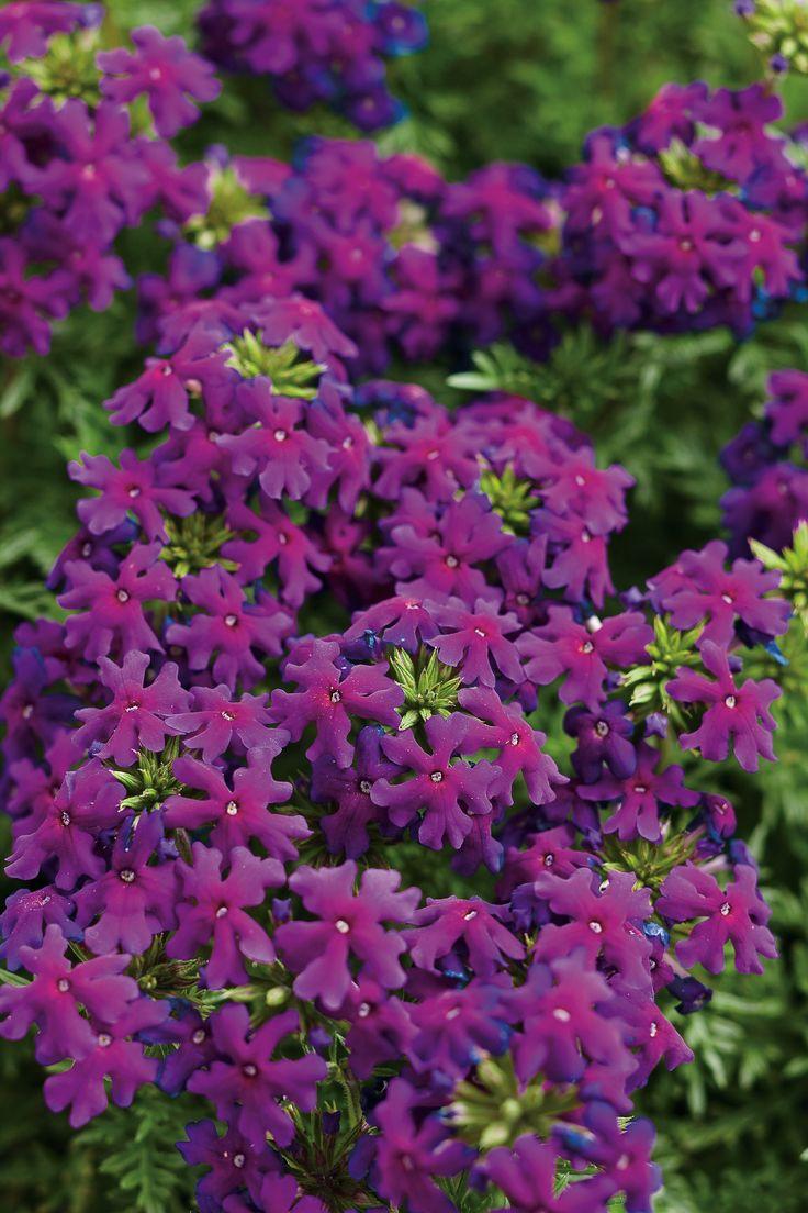 58 best verbena images on pinterest | verbena, flowers and flower