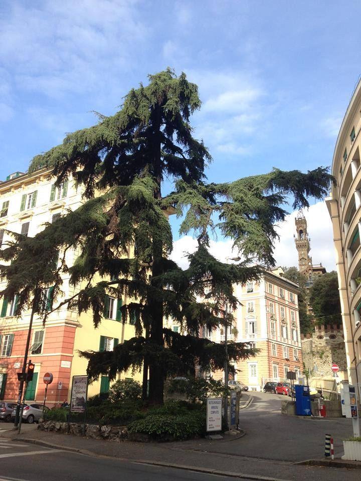 Liguria -  Cedro del Libano - Cedrus libani A.Rich -  Genova - Piazza Manin - 1-12-16 - Marina De Mattia (59)