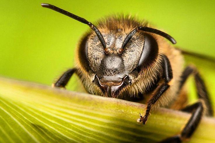 Las abejas son más importantes de lo que te imaginas.  Todos los días y sin que te des cuenta las abejas llevan a cabo una labor fundamental para ti y para buena parte de los seres vivos que conoces.  Seguramente ya te sabes el cuento de la abejita que visita la florecita y se lleva el polen pegado a sus patas hasta la otra florecita y así se polinizan y reproducen muchas plantas. Hoy no vamos a hablarte de eso porque ya lo sabes lo que queremos mostrarte es lo importante que es que ese…
