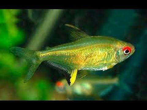 Лимонная тетра,  Hyphessobrycon pulchripinnis, аквариумная рыбка