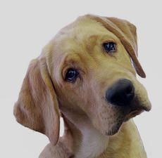 Why do some dogs tilt their heads when we talk to them? From Psychology Today