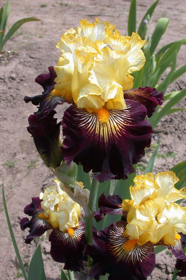 Tall Bearded Iris 'Reckless Abandon' ▓█▓▒░▒▓█▓▒░▒▓█▓▒░▒▓█▓ Gᴀʙʏ﹣Fᴇ́ᴇʀɪᴇ ﹕☞ http://www.alittlemarket.com/boutique/gaby_feerie-132444.html ══════════════════════ ♥ Bɪᴊᴏᴜx ᴀ̀ ᴛʜᴇ̀ᴍᴇs ☞ https://fr.pinterest.com/JeanfbJf/P00-les-bijoux-en-tableau/ ▓█▓▒░▒▓█▓▒░▒▓█▓▒░▒▓█▓