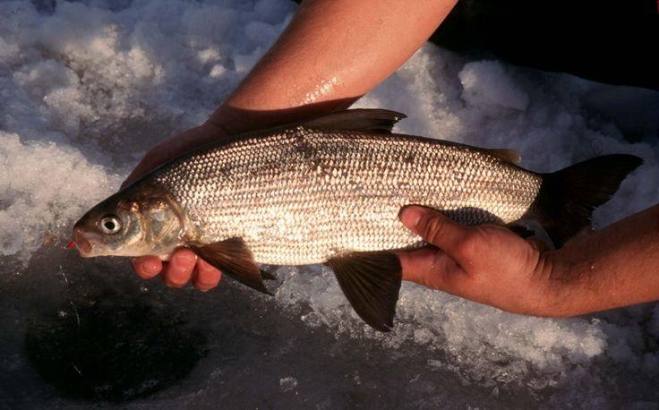 higgins lake whitefish ice fishing