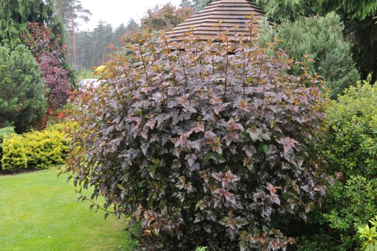 66 best ninebark images on pinterest garden shrubs Sun garden riesling