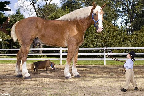 Tallest horse: Priefert's Radar, a Belgium Draft Horse with Thumbalina the worlds smallest horse