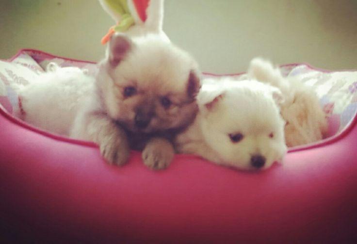 Filhotes de spitz alemão pequeno. #spitz #spitzalemaopequeno #germanspitz #filhote #puppy #dog #cachorro #brasil #pomeranian