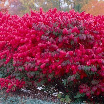 Fast Growing Shrubs & Hedge Plants | Fast Growing Trees