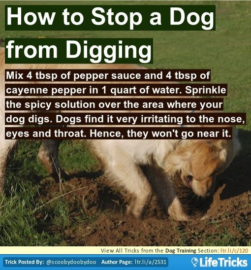Mix 4 tbsp of pepper sauce and 4 tbsp of cayenne pepper in 1 quart of water. Sprinkle the spicy solution over the area where your dog digs. Dogs find it very irritating to the nose, eyes and throat. Hence, they won't go near it.