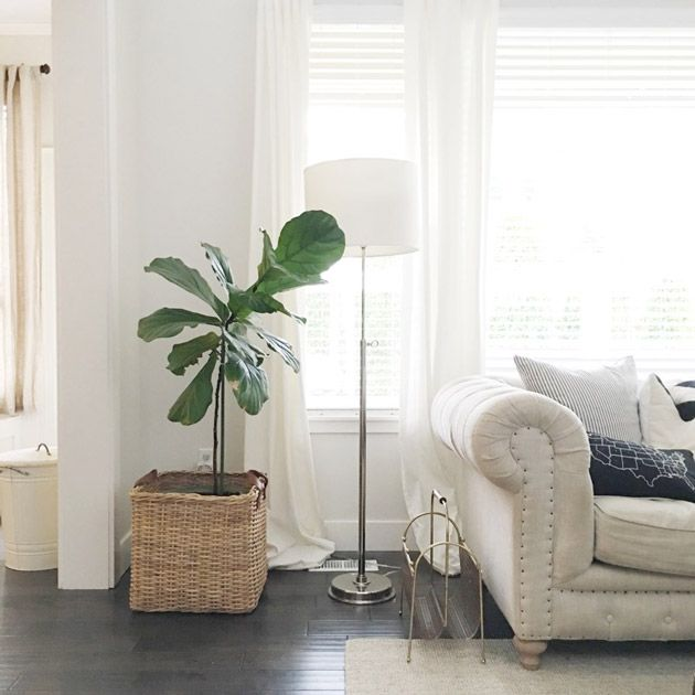 The Beauty of a Fiddle Leaf Fig She brought a Fiddle Leaf Fig back to life! So wish I'd kept the one that (I thought) died. The one that's living is living for the same reasons hers is.