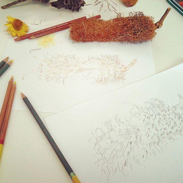 My 5min 2B pencil sketch & 3min colour pencil sketch from my Leaves & Seeds Drawing Workshop on 11th Jan 2017, @ Australian Botanic Garden, Mount Annan. Image via @naturescolourpalette (Instagram) botanic account of Creative Process Workshop.