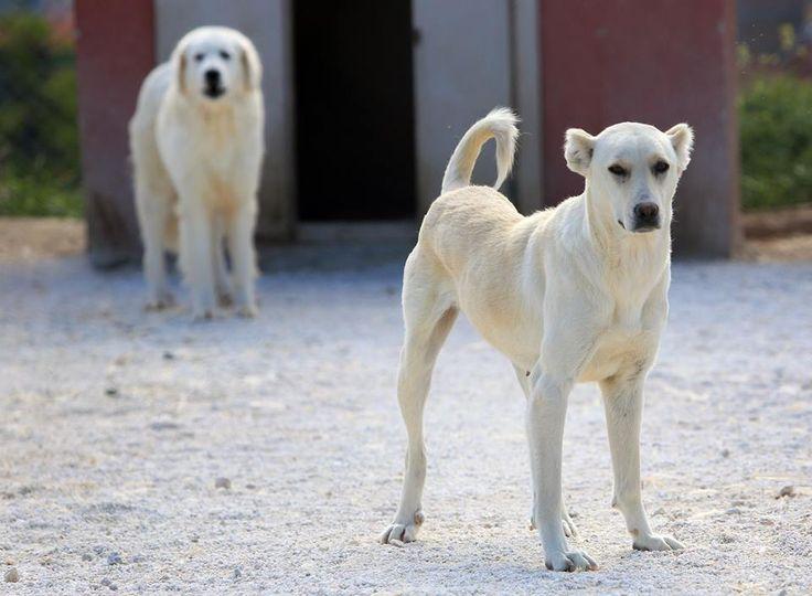"""""""Akbaş""""ın damızlığına yoğun talep…  ABD'de """"en iyi sürü bekçi köpeği"""" seçilen ve Anadolu'ya özgü bir ırk olan """"Akbaş""""a sahip olmak isteyenler, Eskişehir'in Sivrihisar ilçesindeki Akbaş çoban köpekleri üretme ve koruma Merkezi'ne gelen yoğun talepler nedeniyle 5 ay bekliyor. Sahibine karşı çok sadık olan ve kurtlara karşı sürüyü başarıyla koruyan bu hayvanlar özellikle küçükbaş sürü sahipleri tarafından ilgi görüyor."""