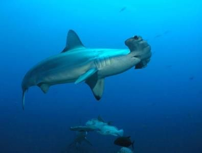 #MPA Fails to Protect Sharks and Rays #ProjectAWARE