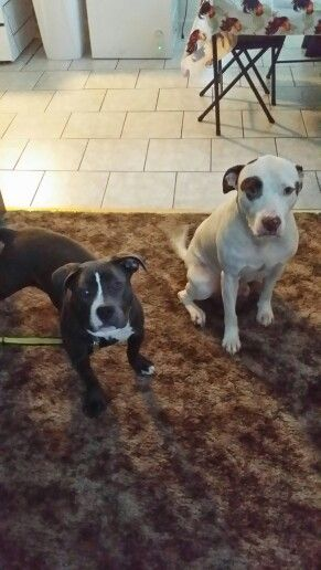 American Bully and Stratford terrier