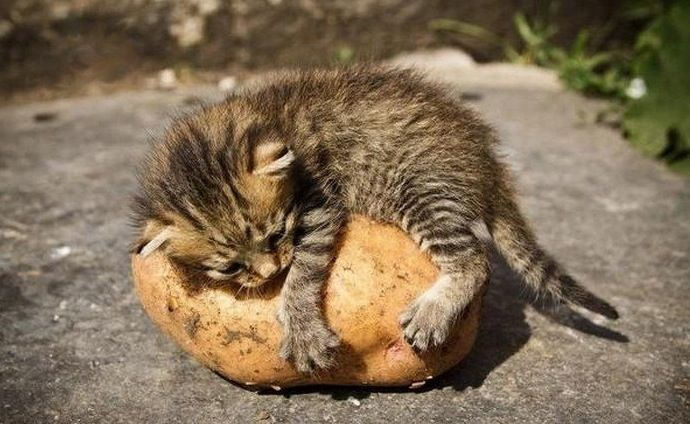 I fell in love with a potato: Friends, Funnies Cats, Funnies Animal Pictures, Potatoes, Baby Animal, Adorable, Things, Kittens, Kitty