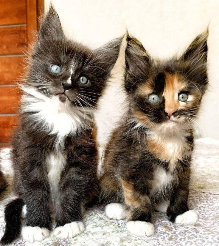 Pin On Kitty Kat Cat Videos Photos Pinterest Stories