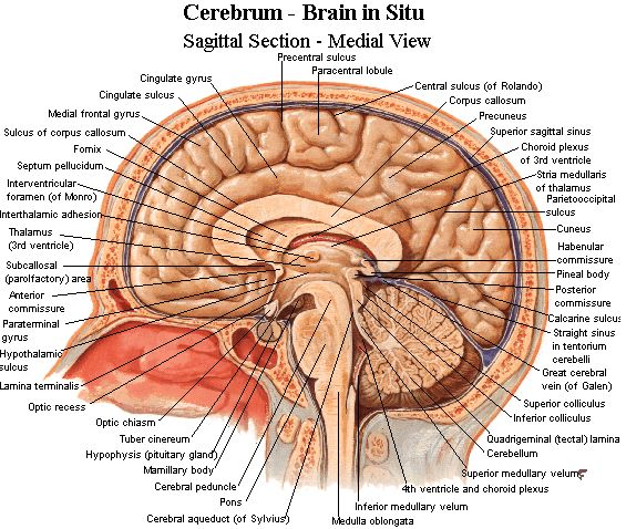 Neuroanatomy - Important brain structures