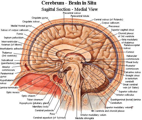 Neuroanatomy - Important brain structures