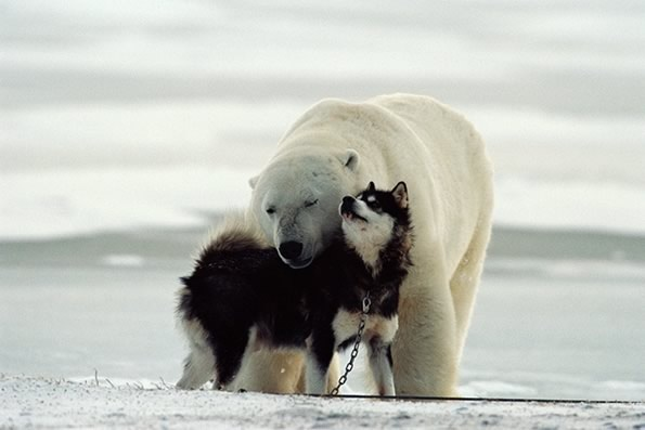 Dog playing with a polar bear. The bear returned every night for a week so he could play with the sled dogs!
