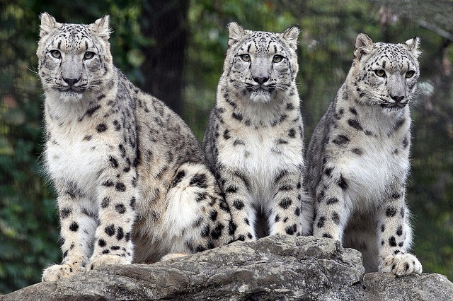 Snow Leopards by Steve Tracy Photography, via Flickr