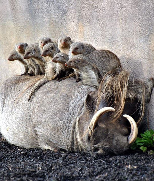 warthog and meerkat relationship