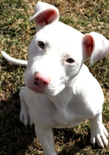 StubbyDog: Stories - white pit bulls are sometimes deaf