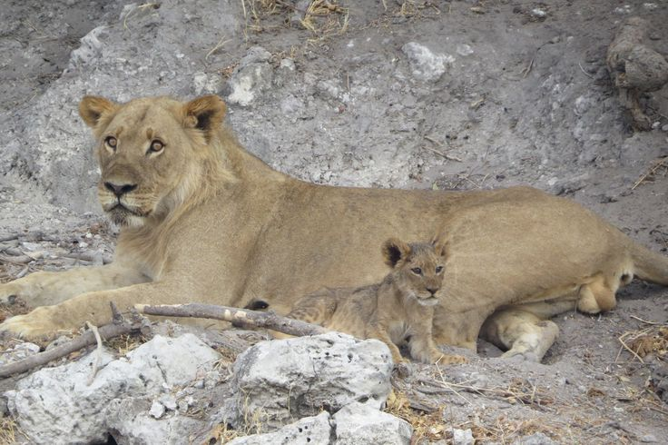 Lion cub with its mama