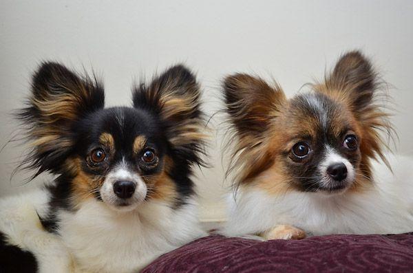 Papillon And Long Haired Chihuahua Mix Chihuahua Mix Chihuahua
