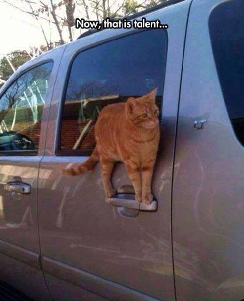 Ninja cat standing on car door handle. this cat has got skills