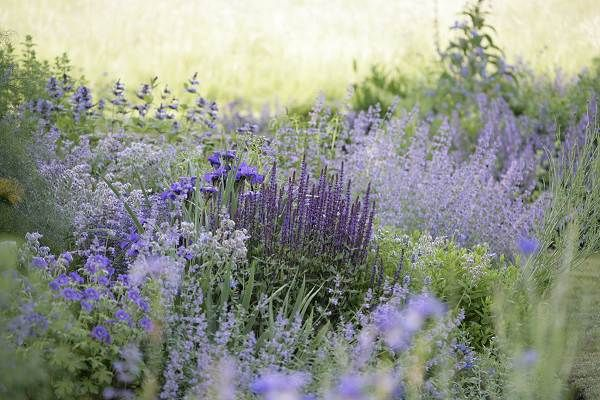 blue catmint and salvia, love the two color scheme, adding white and yellow for the sloped area.
