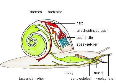slak-van-binnen