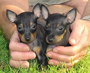 toy manchester terrier | Toy Manchester Terriers Toy Manchesters Toy Manchester Puppies ...