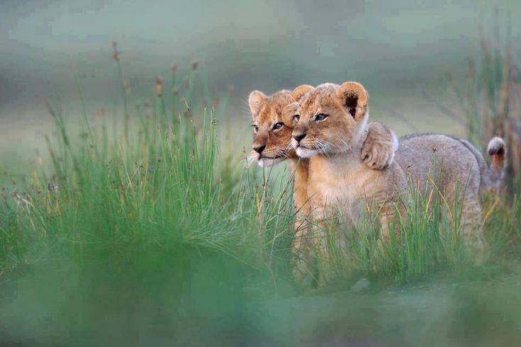 Leones bebes :)
