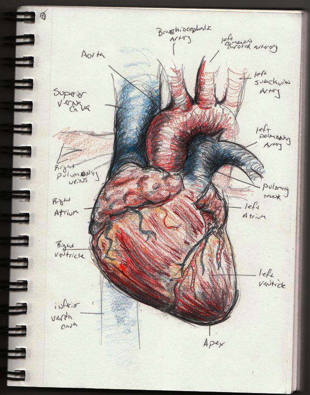 human heart sketch by ~vegetarules101 on deviantART